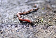 Earthworm на том основании Стоковые Изображения