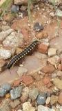 earthworm zdjęcie stock