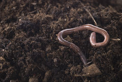 earthworm Fotografia Royalty Free