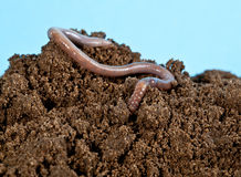 Earthworm Stock Photos
