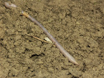 Earthworm. The big long earthworm at the field Royalty Free Stock Photos
