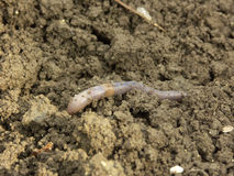 Earthworm Royalty Free Stock Photos