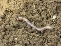 Earthworm. The big long earthworm at the field Stock Image