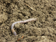 Earthworm. The big long earthworm at the field Stock Photo