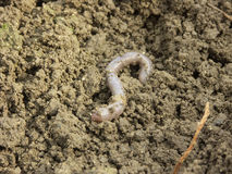 Earthworm Stock Images