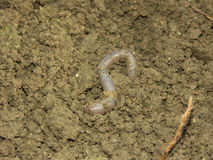 Earthworm. The big long earthworm at the field Royalty Free Stock Images
