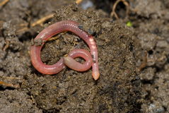 earthworm Obrazy Royalty Free