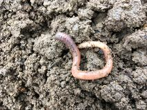 Earthworm on top of soil Royalty Free Stock Photo