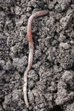 Earthworm. The big earthworms at the field Stock Photography