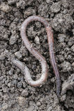 Earthworm. The big earthworms at the field Stock Photos