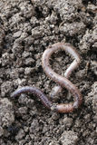 Earthworm. The big earthworms at the field Stock Images