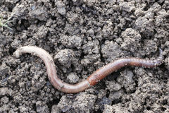Earthworm. The big earthworms at the field Royalty Free Stock Photos