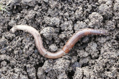 Earthworm. The big earthworms at the field Royalty Free Stock Photography
