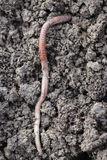 Earthworm. The big earthworms at the field Royalty Free Stock Image