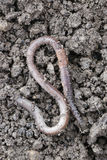 Earthworm. The big earthworms at the field Stock Image