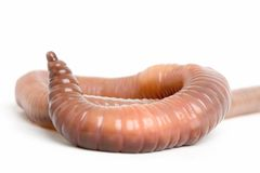 Earthworm Close Up 2. A close up view of an earthworm against a white background stock image