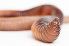 Earthworm Close Up. A close up view of an earthworm against a white background royalty free stock images