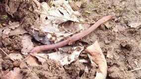 Earthworm crawling stock video
