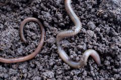Earthworm. In dirt Stock Photography