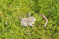 Earthworm fuscus pelobates жабы spadefoot чеснока стоковые изображения rf