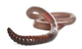 Earthworm, Lumbricus terrestris Stock Images