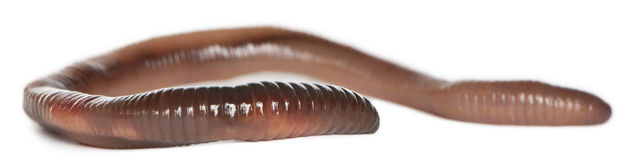 Earthworm, Lumbricus terrestris. In front of white background Royalty Free Stock Image