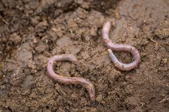 Earthworm lying on soil. Worms living under the ground Royalty Free Stock Photography