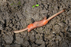 Earthworm mating, Lumbricus terrestris Stock Images
