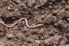 Earthworm na ziemi Earthworm i zdrowa ziemia obraz royalty free