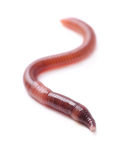 Earthworm Royalty Free Stock Photography
