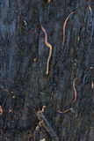 Earthworm in soil. Close up Royalty Free Stock Photography