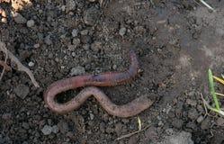 Earthworm Royalty Free Stock Image