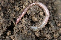 Earthworm stock image