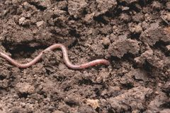An earthworm on a soil. Earthworm and healthier soil Royalty Free Stock Image