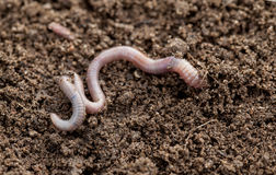 Earthworm in terreno Immagini Stock