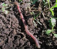 Earthworm. Royalty Free Stock Images