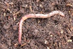 Earthworm w komposcie zdjęcia royalty free