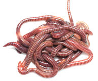 Earthworm. On a white background Stock Photography