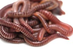 Earthworm on a white background. In the park in nature Stock Photography