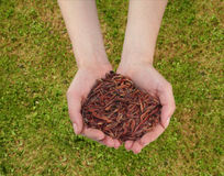 Earthworms в руке Стоковые Фотографии RF