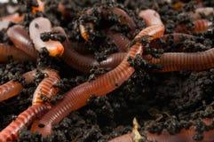 earthworms земли Стоковые Фотографии RF