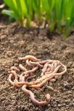 Earthworms на заплате Стоковая Фотография