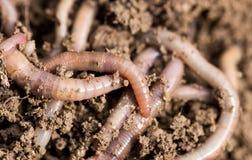 Earthworms на почве Макрос Стоковое Фото