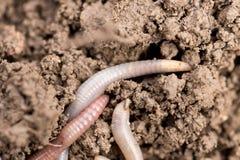 Earthworms на почве Макрос Стоковое Изображение RF