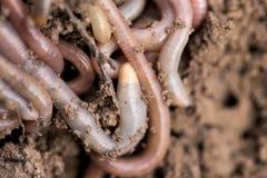 Earthworms на почве Макрос Стоковые Фотографии RF