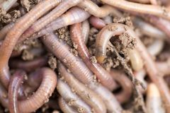 Earthworms на почве Макрос Стоковые Изображения RF
