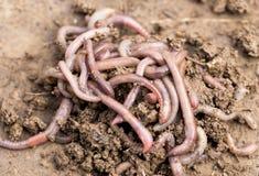 Earthworms на почве Макрос Стоковое Изображение