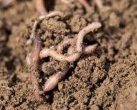 Earthworms на почве Макрос Стоковая Фотография RF
