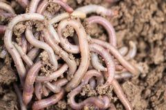 Earthworms на почве Макрос Стоковые Фото