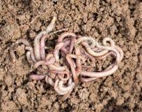 Earthworms на почве Макрос Стоковое фото RF